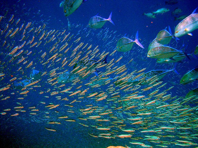 Kleine Fische, größere Fische / Foto: Moofushi Kandu, Maldives, wikimedia, CCL