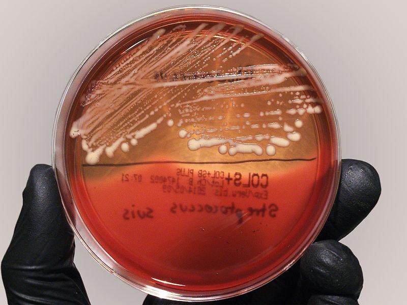 Bakterien / Foto: Stefan Walkowski, CCL, wikimedia